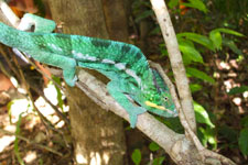 excursion-cameleon-Lokobe-p